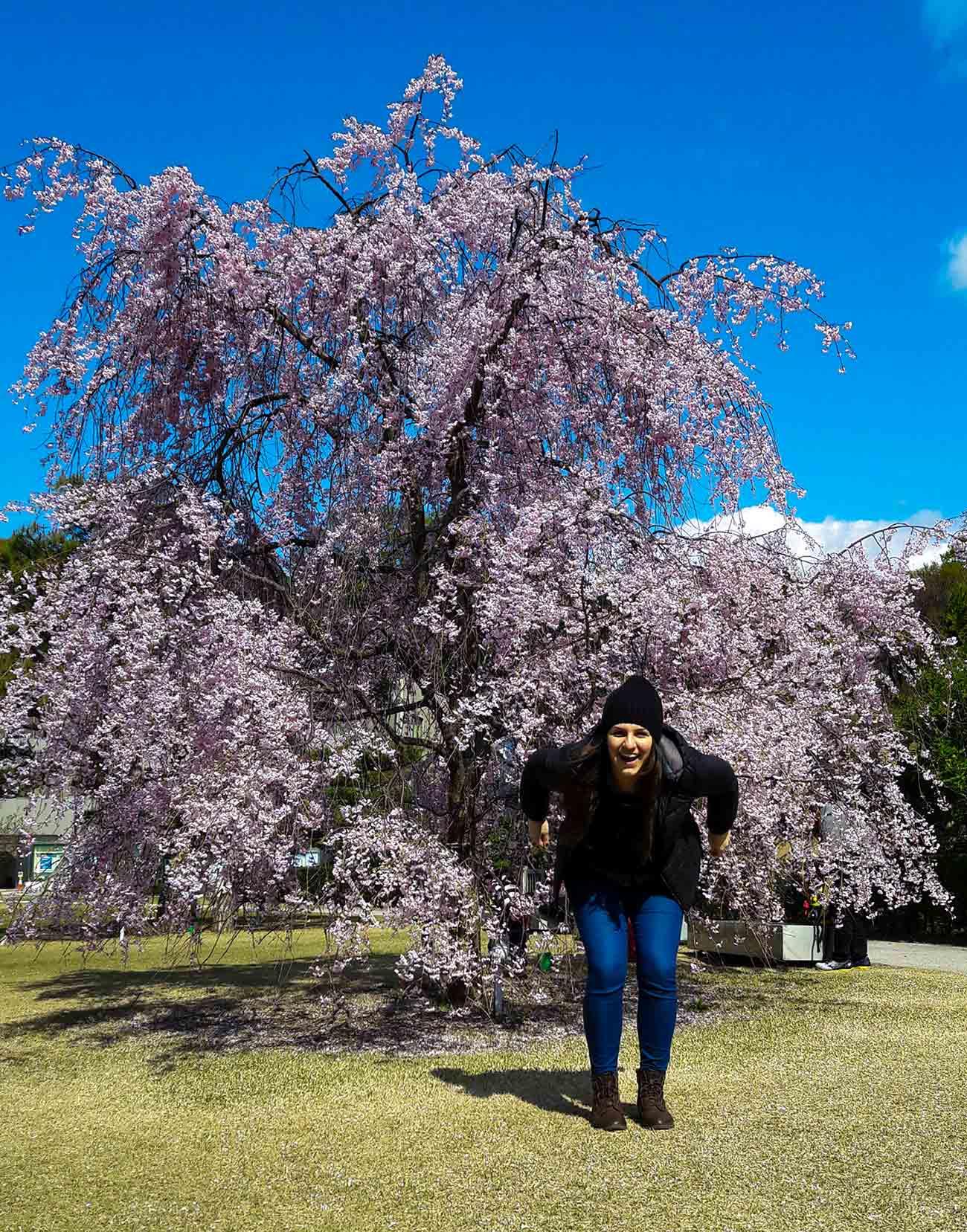 Giappone ciliegio